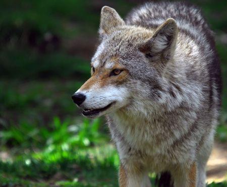 Bild eines Coyote  Standard-Bild