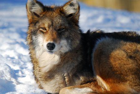 Imagen de un coyote  Foto de archivo - 3131157