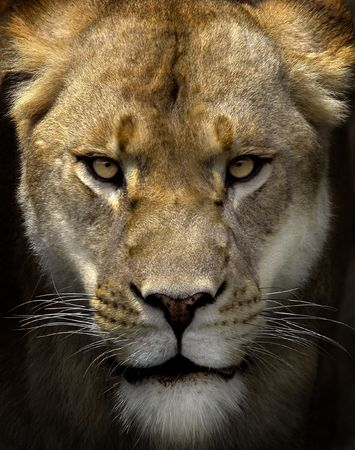 Portrait of a female lion starring