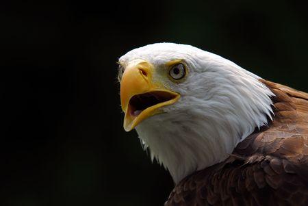 Portrait of a majestic American Bald Eagle bird of pray photo