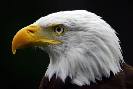 Portrait of a majestic American Bald Eagle bird of pray Stock Photo - 3682904