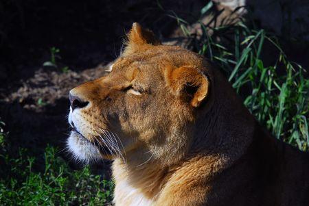 Close up portrait of a female lion Stock Photo - 3706604