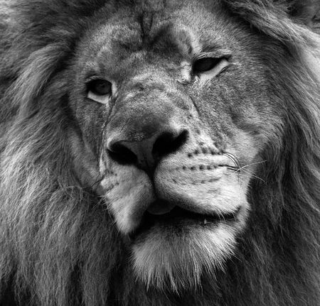 Close up portrait of a lion in black and white