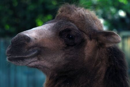Close up portrait of a camel Stock Photo - 3706603