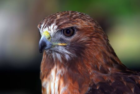 red tailed hawk: Close up portrait of a wild red tailed hawk