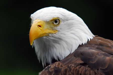 Portrait of a majestic American Bald Eagle bird of pray