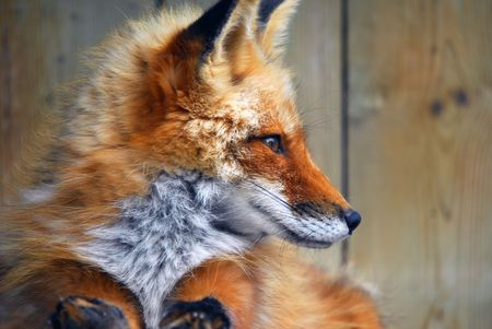 animal fox: Close-up profile portrait of Red Fox