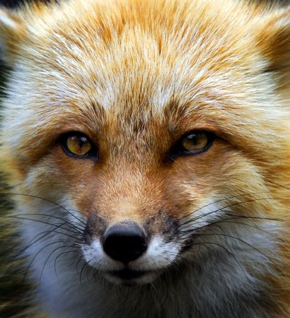 Close-up picture of a wild Red Fox  Stock Photo
