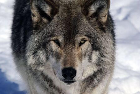 grey: Close-up portrait of a gray wolf in Winter