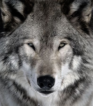 Close-up portrait of a gray wolf Stock Photo