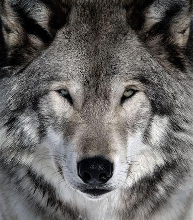 Close-up portrait of a gray wolf Reklamní fotografie