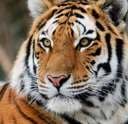 Close-up picture of a Siberian Tiger on a cold Winter day