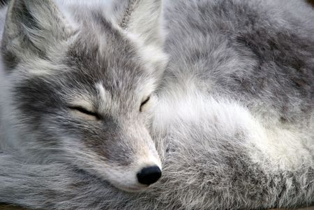 Close-up portrait of an Arctic Fox while he is sleeping photo