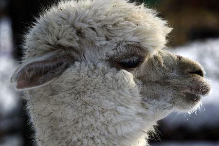 Ritratto di profilo di Close-up di una lama bianca in inverno Archivio Fotografico - 5215443