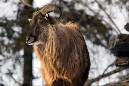An Himalayan Tahr in a Winter mountain environment