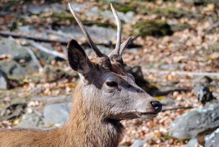 wapiti: Close-up portrait a a Wapiti in the Autumn season