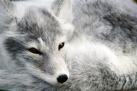 Close-up portrait of an Arctic Fox while he is sleeping Banco de Imagens - 5286646