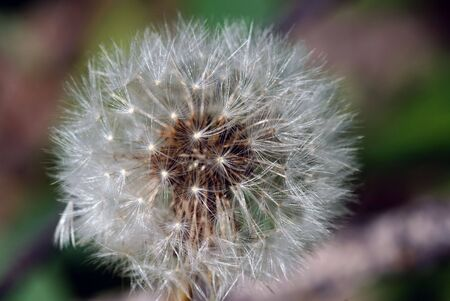 taraxacum: Closeup picture of a dandelion or taraxacum in bloom Stock Photo