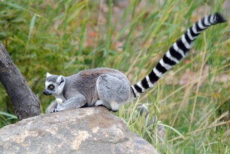 Picture of a beautiful Ring-tailed Lemur from Madagascar