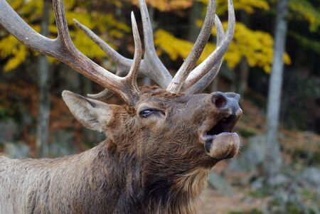 wapiti: Close-up portrait a a Wapiti in the Autumn season