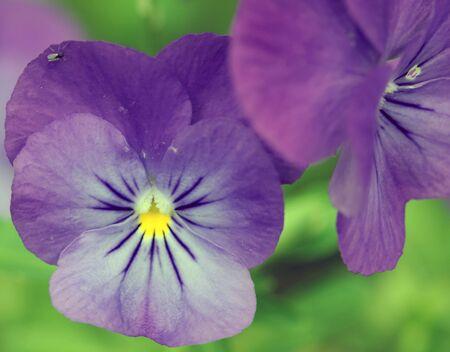 Closeup picture of some wild purple Viola tricolor Stock Photo