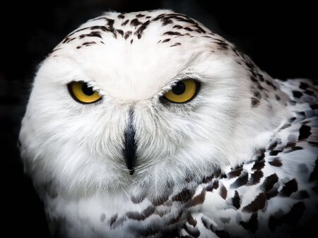 snowy owl: Close up portrait of a beautiful snowy owl