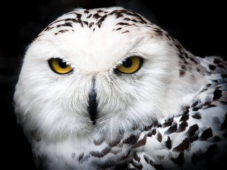 Schließen Sie bis Porträt des eine schöne Snowy owl