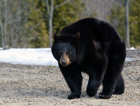 A big black bear in early Spring
