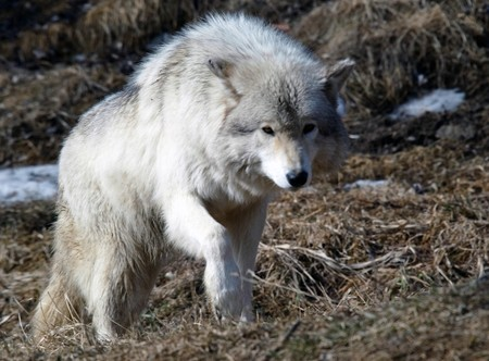 on gray: Picture of a beautiful gray wolf on a sunny day