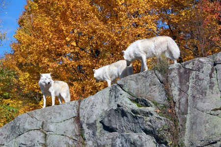 Arctic wolf in a majestic forest in autumn photo