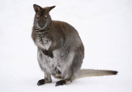 Picture of a kangaroo in the snow in winter