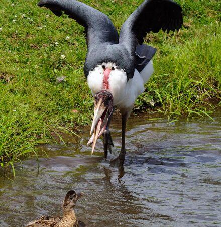 Afbeelding van een Marabou probeert te schrikken een eend