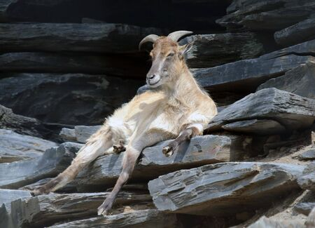 Picture of an Himalayan Tahr resting on a mountain cliff Reklamní fotografie