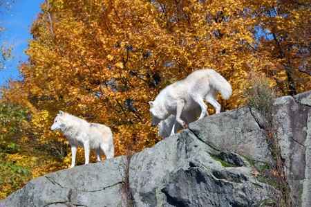 Arctic wolf in a majestic forest in autumn