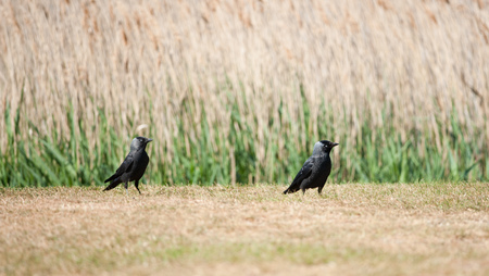 A pair of jackdaws strut in front of reeds outside Snape Malting, Suffolk, UK.
