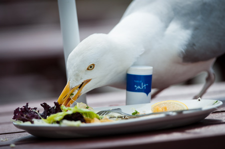 A herring gull picking through the leftovers of a seaside lunch. Reklamní fotografie