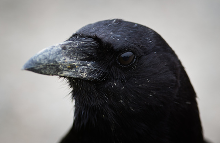A closeup of the head of Corvus caurinus, the Northwestern Crow.