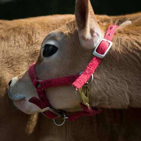 A heifer or young cow, bends her head back to scratch her flank, wearing a pink harness.
