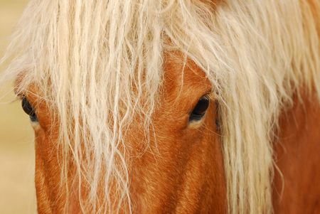 draught horse: Draught horse in France Stock Photo