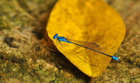 Un Damselfly Azul photo