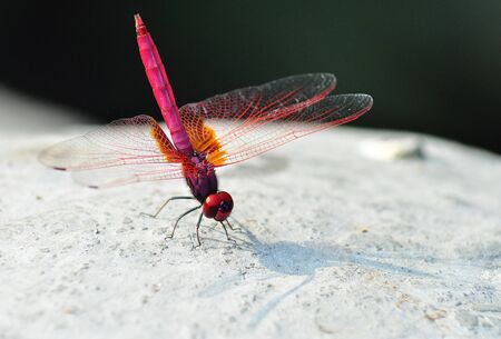 A Red Dragonfly photo