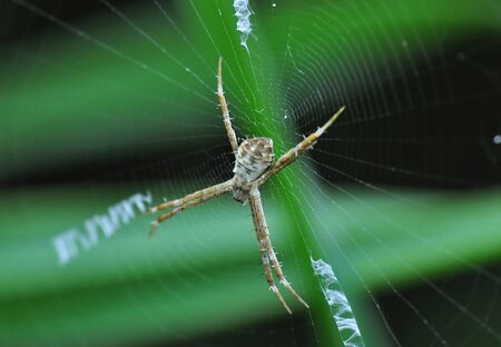 orb weaver: An Orb Weaver Waiting for its Prey