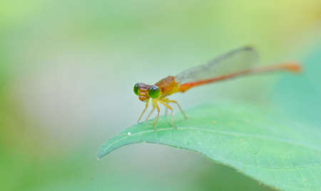 An Orange Damselfly photo