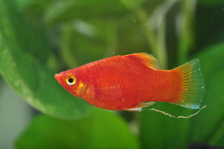 platy: Portrait of a Red Platy