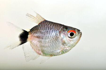 tetra: A Red Eye Tetra