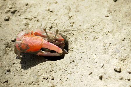 fiddler: A Red Fiddler Crab Stock Photo