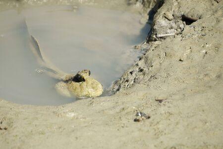 mudskipper: Portrait of a Giant Mudskipper