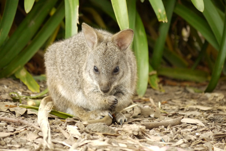 wallaby: Portrait of a Wallaby Stock Photo
