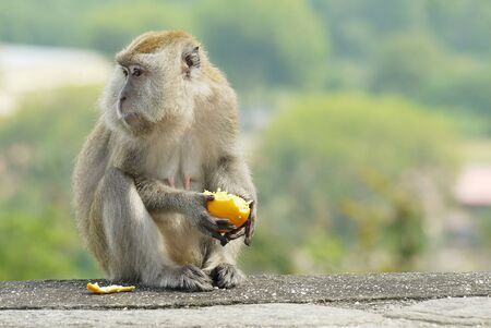 Portrait of a Monkey Eating an Orange Stock Photo