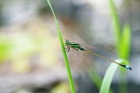 damselfly: Close Up Shot of a Green Damselfly Stock Photo